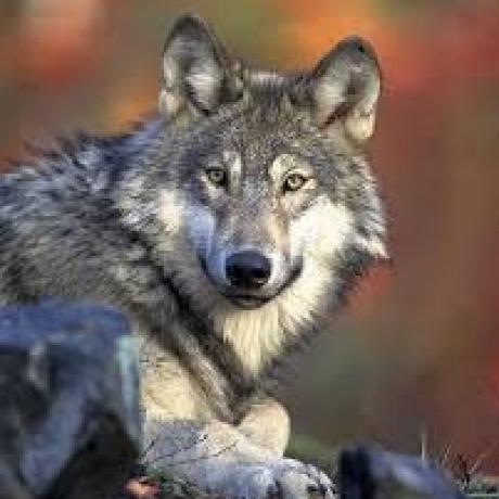 Chaperon Rouge a vu le loup. C'est vrai ça ?
